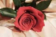 Красная роза, символ благодарности Стоковое Изображение