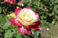 Красная роза с белизной Стоковые Фото