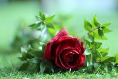 Красная роза с водой падает на ее стоковые фотографии rf
