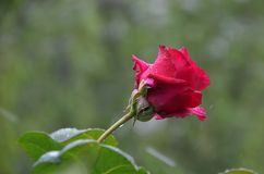 Красная роза с естественным светом Стоковые Фотографии RF