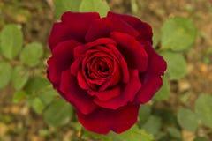 Красная роза с зеленой предпосылкой Стоковая Фотография RF