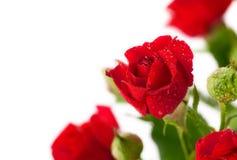 Красная роза с зеленым цветом выходит, красная роза с зелеными листьями Стоковые Изображения RF