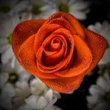 Красная роза с капельками воды на лепестках Стоковое Изображение RF