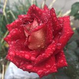 Красная роза стоковое изображение