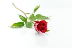 Красная роза с тенью горизонтально Стоковые Фотографии RF