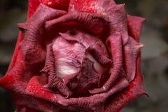 Красная роза умирая в съемке макроса сада осени О поднял Унылое настроение падения Вянуть розы в падении Винтажный насыщенный низ Стоковая Фотография