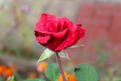 Красная роза цвести в саде стоковые фото