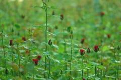 Красная роза цветет завод Стоковая Фотография RF
