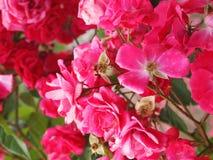 Красная роза - цветочный сад Стоковая Фотография