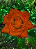 Красная роза шарлаха Текстура лепестков На зеленой предпосылке Стоковая Фотография RF