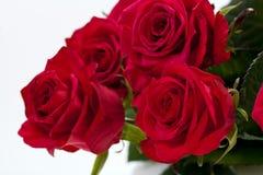 Красная роза Стоковые Изображения RF