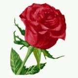 Красная роза иллюстрация штока