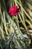 Красная роза Стоковая Фотография