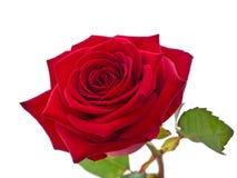 Красная роза. Стоковая Фотография RF