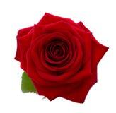 Красная роза. Стоковые Изображения