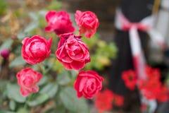 Красная роза Стоковое Изображение RF