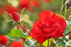 Красная роза Стоковая Фотография RF