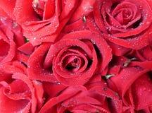 Красная роза 12 Стоковые Фотографии RF