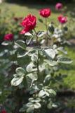 Красная роза II Стоковое Изображение RF