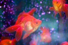 Красная рыбка стоковая фотография rf