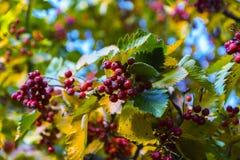 Красная рябина на дереве стоковая фотография rf