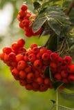Красная рябина Стоковые Изображения RF