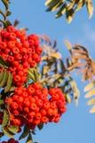 Красная рябина Стоковая Фотография RF