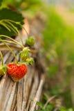 Красная свежая клубника стоковые фото