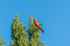 Красная северная кардинальная птица поя на верхней части кипариса Стоковые Изображения