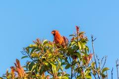 Красная северная кардинальная птица с голубым небом Стоковые Фото