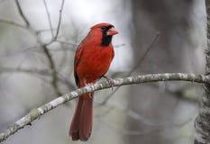 Красная северная кардинальная птица Стоковое Фото