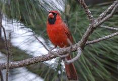 Красная северная кардинальная птица Стоковое Изображение