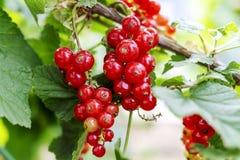Красная смородина растет на кусте в саде Зрелый конец-вверх красной смородины как предпосылка Сожмите зрелые ягоды красной смород стоковое изображение