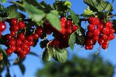 Красная смородина на ветви в конце-вверх сада Стоковое Изображение RF