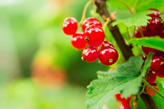 Красная смородина на ветви в саде Стоковое Изображение