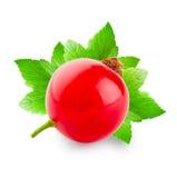 Красная смородина с 3 зелеными листьями Стоковое Изображение