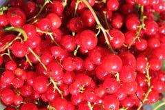 Красная смородина Стоковая Фотография