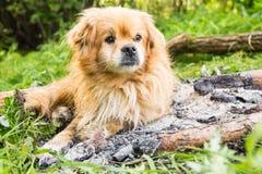 Красная собака лежа на потушенном месте костра Стоковая Фотография RF