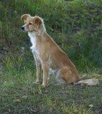 Красная собака ждет предпринимателя Стоковые Фотографии RF