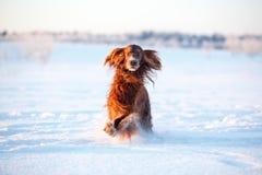 Красная собака ирландского сеттера Стоковые Фото