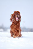 Красная собака ирландского сеттера Стоковое фото RF