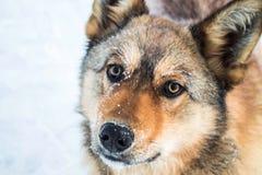 Красная собака против белого снега, арктики стоковая фотография