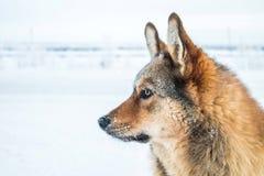 Красная собака против белого снега, арктики Стоковые Изображения