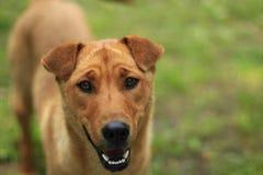 Красная собака стоит на зеленой траве стоковые фотографии rf