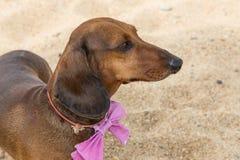 Красная собака таксы на пляже Стоковое Изображение RF