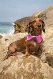 Красная собака таксы на пляже Стоковая Фотография