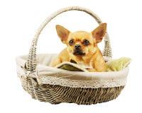 Красная собака чихуахуа в плетеной корзине стоковые фотографии rf