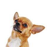 Красная собака чихуахуа изолированная на белой предпосылке стоковое фото rf