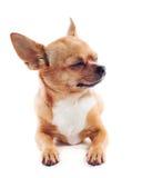Красная собака чихуахуа на белой предпосылке стоковая фотография rf