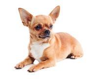 Красная собака чихуахуа на белой предпосылке стоковые фотографии rf